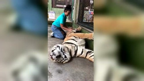 老虎也有打盹的时候,这个时候,饲养员就在这个时候动手!