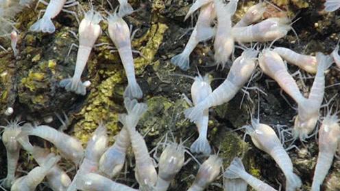世界上最耐高温的虾,生活在450度的深海火山,这要怎么煮熟?