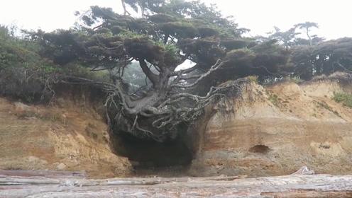 世界上最顽强的树,悬空在两座山之间,没土却活了几百年