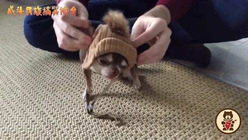 天冷了,主人给吉娃娃带上帽子,狗子:别弄乱我的发型