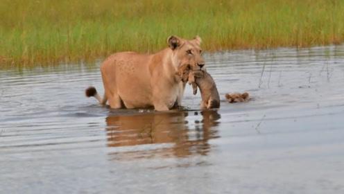 母狮子叼着女儿过河,另一只成了亮点,不是亲生的态度也忒差了!