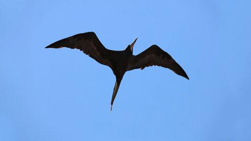 全世界上飞得最快的鸟 一口气飞3000公里 还能边飞边睡