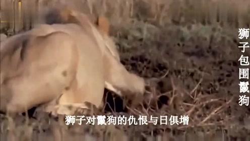 落单鬣狗误闯狮子领地,5头狮子悄悄埋伏,下一刻鬣狗悲剧了