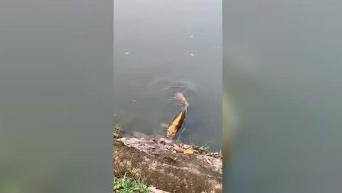 河里发现的鱼,不是说建国后不能成精么,这是什么情况!