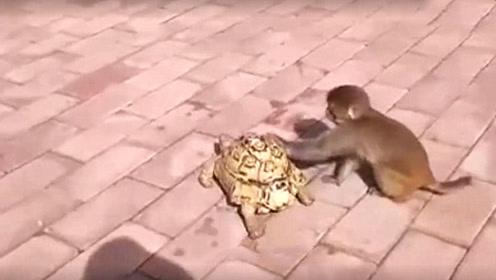 小猴子看乌龟走的太慢,上去热情帮忙,画面真是太好笑了!