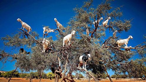 """树上竟能""""结出""""山羊?摩洛哥""""神秘""""树木,长满了""""山羊果子"""""""