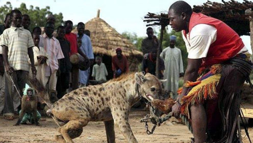 鬣狗为什么害怕非洲人?短短一分钟的视频,看得满满的心酸
