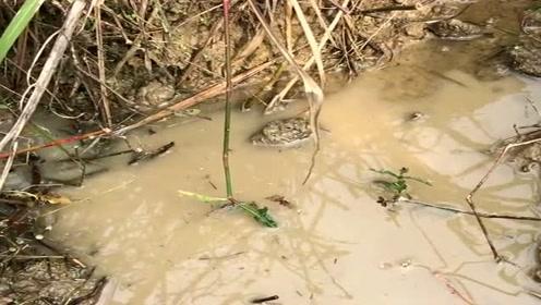 小伙发现田水很浑浊,抱着试试的心理掏了过去,竟然抓到一只大甲鱼!