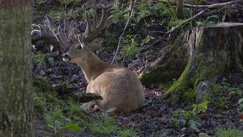 鹿为躲避采集鹿茸,5年时间头上长满了角,头都快被压垮了
