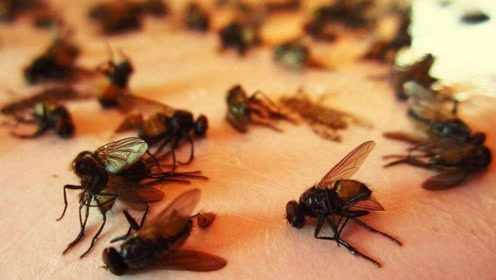 苍蝇是脏乱差的代表,但它对地球的贡献,比人类还要大