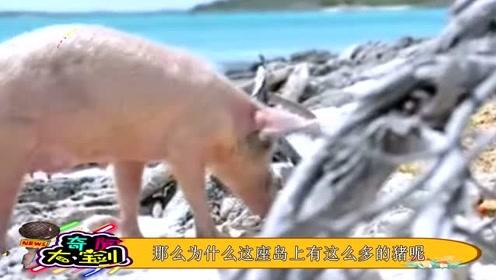 猪一般是拿来吃的,这个岛上的猪不仅有美女相伴,还有天天有人送吃的
