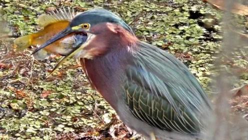 """会""""钓鱼""""的鸟 懂得用诱饵吸引鱼类 简直太聪明!"""
