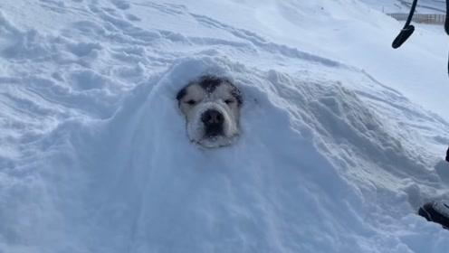 二哈被主人埋在了雪地里,意外出现的一幕让人哭笑不得
