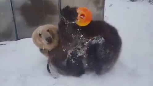 """男子丢给棕熊一个玩具,棕熊突然""""发疯""""了,瞬间没有一点熊样"""