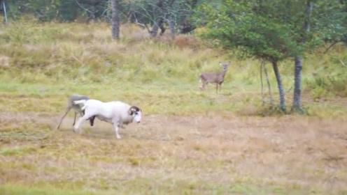 羊兄找鹿挑衅,结果被一把顶起,场面让人大笑