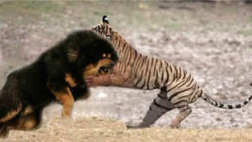 """藏獒和东北虎""""互殴"""",藏獒能过几招?东北虎:自不量力!"""