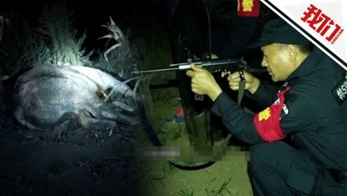 河南邓州一只成年黄牛发疯撞伤两人 直击特警持枪将其击毙