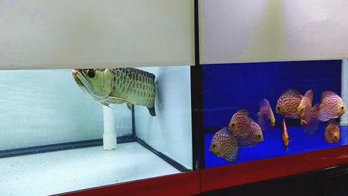 市场上刚买的两种宝贝观赏鱼,凑近一看,结果瞬间让人着迷了