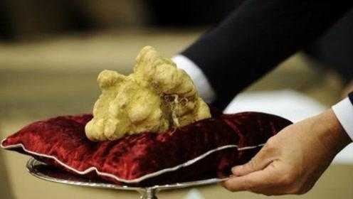 世界上最昂贵的蘑菇,比黑松露还难处理和保存,食用方法还特讲究!