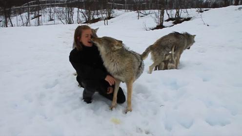 俄罗斯除了棕熊,这种动物也很卑微,每次见面都装二哈