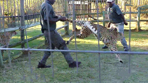 动物园花豹发狂,工作人员拽起后腿直接将其甩飞,花豹:大哥我错了!