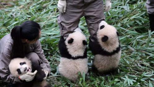"""熊猫宝宝""""打群架"""",饲养员劝架被""""围攻"""":好家伙,原来是套路我!"""