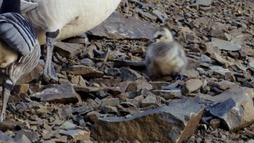 这种动物从小就要跳悬崖,要么摔死要么摔伤,网友:靠运气活
