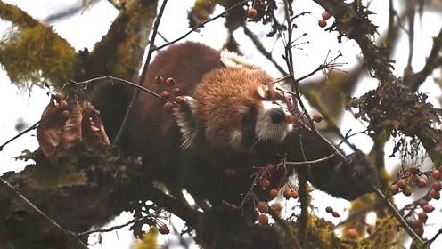 小熊猫,你认真吃浆果的模样真可爱
