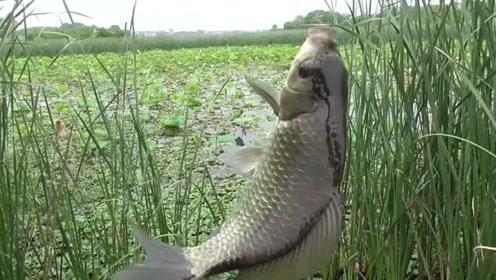 长满水草的藕塘野钓,七星漂传统钓大板鲫