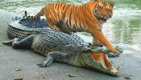 鳄鱼先生正在午睡,不巧被母老虎撞见,母老虎:掀了你的天灵盖!