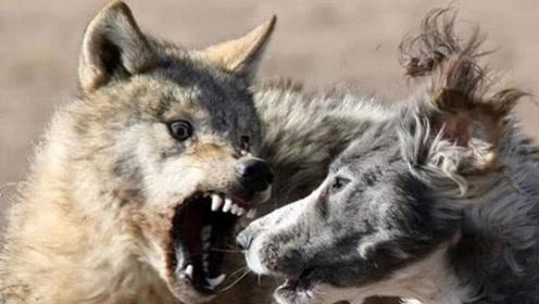 狼在袭击羊群的时候,为何看到牧羊犬会跑?狼:不跑才白痴