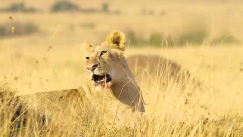 狮子一个月没进食,看着猎物奔腾而过却没办法,只能静静的等待死亡的到来