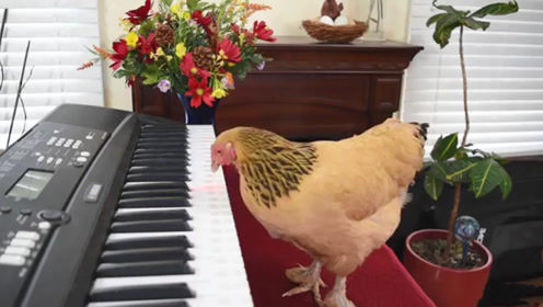 主人不在家,母鸡偷偷跳上琴桌:铲屎的平时就这么弹的吧?