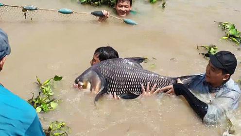 罕见的鱼王被捕获,村民如获至宝,高兴地大叫起来