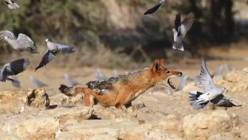 毫无戒心?南非饿豺捕鸟大作战成功捕捉到猎物