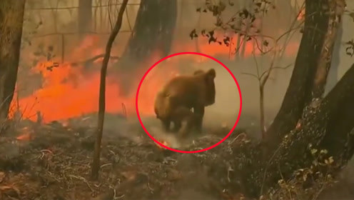 澳大利亚山火肆虐 考拉被烧成黑炭女子脱衣将其救下
