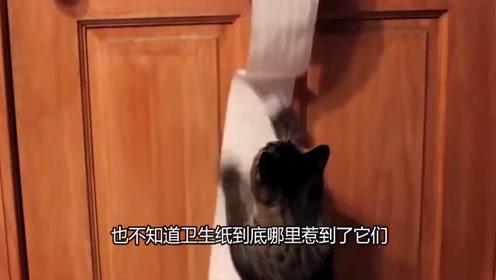 小伙用100卷卫生纸铺满整个房间,当猫咪进去后会有什么反应