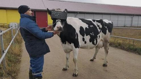 VR新用途:给奶牛戴VR眼镜让其多产奶