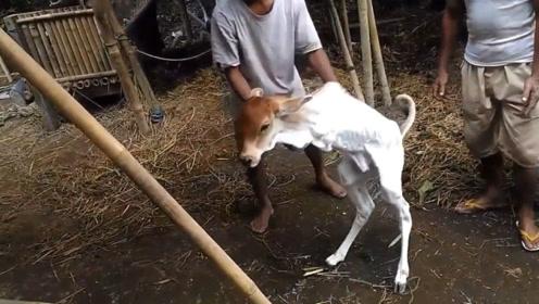 生下来只有两条腿的小牛,主人像教小孩走路一样照顾着