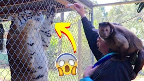趣味萌宠:小猴子和主人去动物园