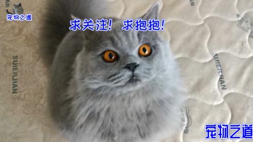 小胖猫撒娇求主人关注,被母猫揍了,胖猫爸接着的反应出人意料