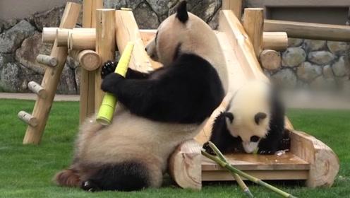 小熊猫获得极品竹笋,下一秒被熊猫妈妈抢走,网友:果然是亲妈