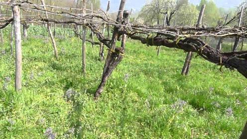 世界上最古老的葡萄树,176年的树龄,产出葡萄可不少