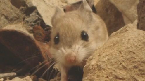 4周大的小食蝗鼠独闯沙漠!挑战未知世界勇气可嘉!