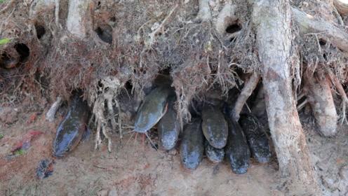 树里还能种出鱼来?老外挖开河中大树,树根内全是活蹦乱跳的鱼