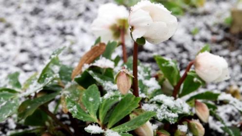 农村野草长得像白玫瑰,对胃病肠胃炎,一吃就见效!