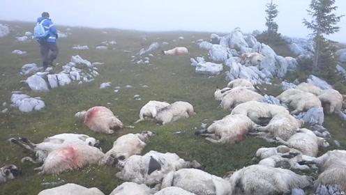 国外山坡发现遍地山羊尸体,山羊们各个带伤,专家疑惑不解!