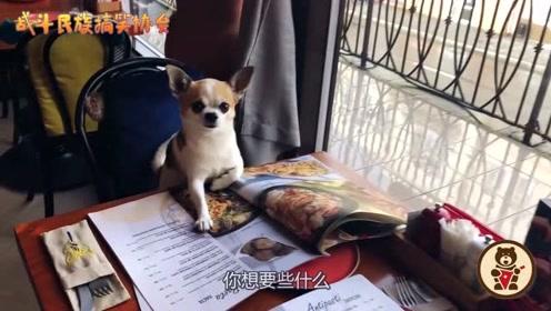 主人第一次带吉娃娃吃意大利餐,狗子馋得直舔嘴