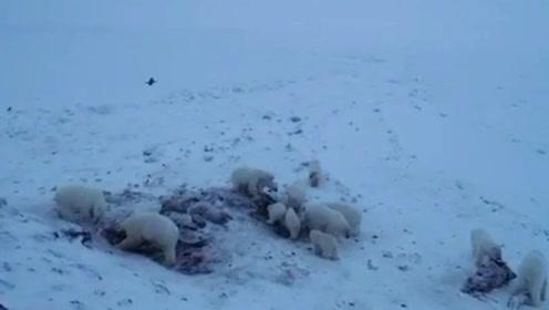 俄罗斯一村庄被56只饥饿北极熊包围 居民或面临永久撤离