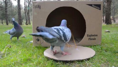 用纸箱做的捕鸟机,开个洞扔地上,全自动捕捉路过肥鸟!